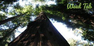 cali redwood tree