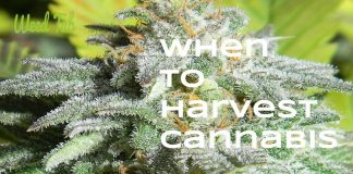 harvest cannabis