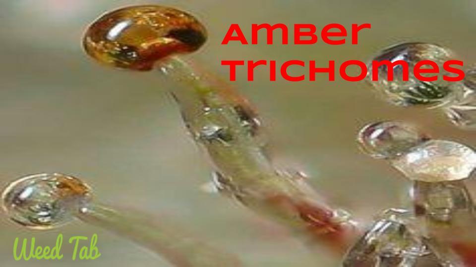 amber trichomes